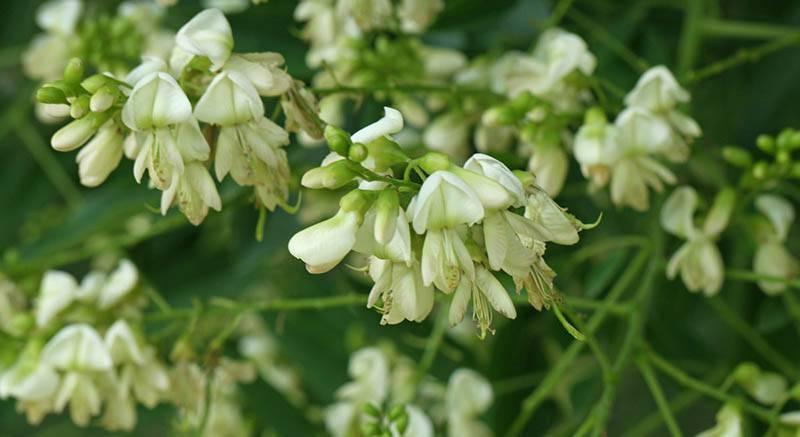 1 - Khám phá về Hoa hòe - bài thuốc thiên nhiên trị mụn, thâm lâu đời. 1