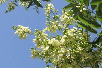 Tái sinh da mụn với tinh chất Rutin NDN từ hoa hòe